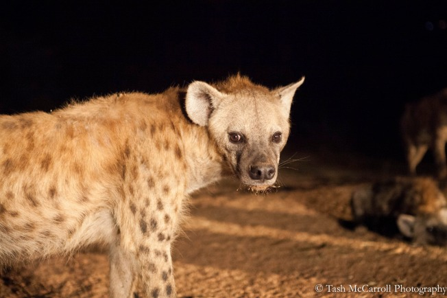 Eye contact while I squat down only a meter from this hyena