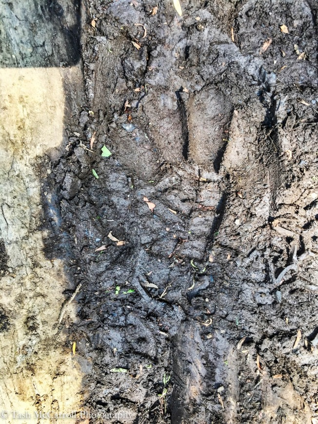 Gorilla prints fresh on the trail